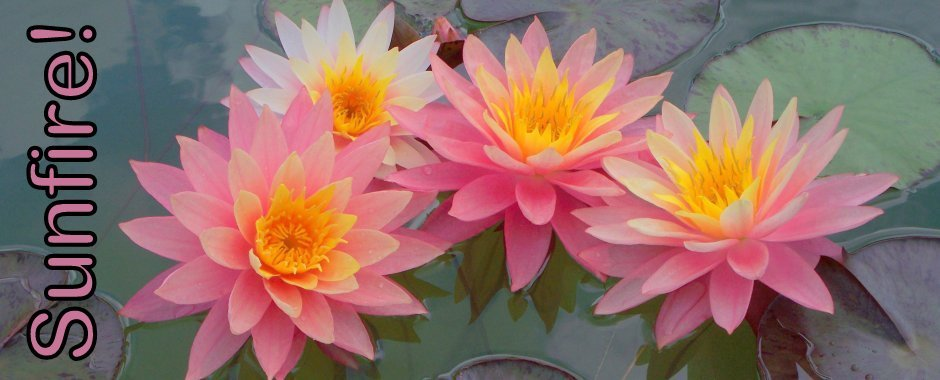 Nymphaea 'Sunfire' Exclusive Hardy Water Lily. Sunfire Water Lily for sale directly from the breeder!