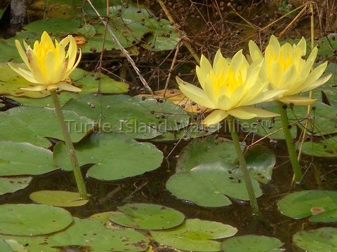 Nymphaea 'Mexicana' Hardy Waterlily