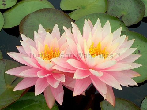 Nymphaea 'Myra' Exclusive Hardy Waterlily