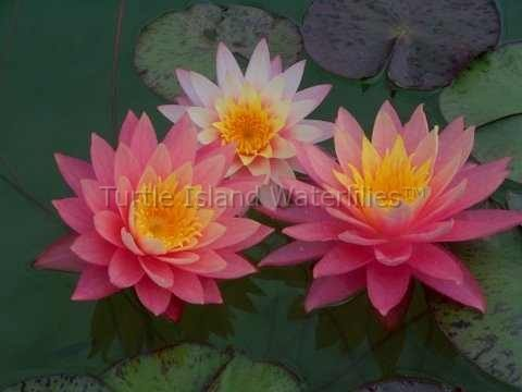 sunfire waterlily water lily