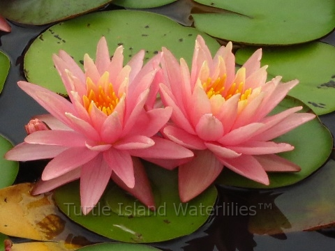 Nymphaea 'Lavalette Pink' Exclusive Hardy Waterlily