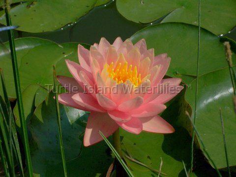 Peach Hardy Water Lilies