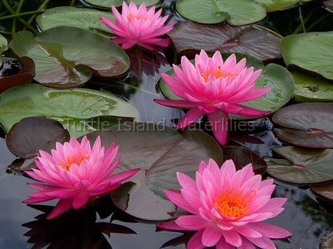 Nymphaea 'Frosted Pink' Exclusive Hardy Waterlily 1