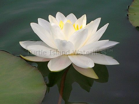 White Hardy Water Lilies