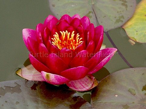 Nymphaea 'Red Queen' Hardy Waterlily