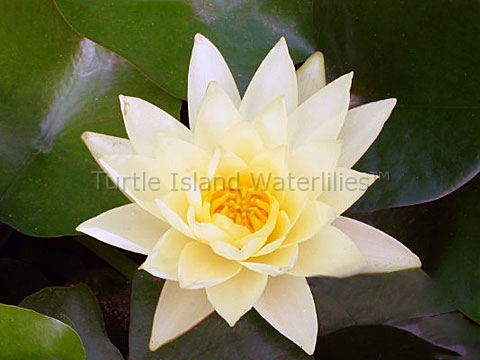 Nymphaea 'Yellow Queen' Hardy Waterlily