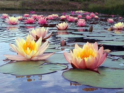 Premium Hardy Water Lilies