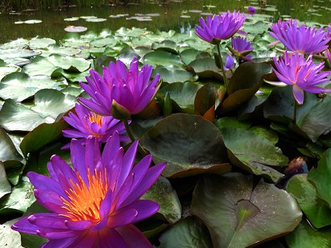 Nymphaea 'Turtle Island Violicious' Exclusive HXT Hardy Purple Water Lily