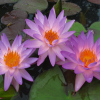 Nymphaea 'Turtle Island Fay McDonald' Exclusive HXT Hardy Blue Waterlily