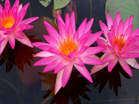 Nymphaea 'Turtle Island Tropic Star' Exclusive HXT Hardy Hot Pink Water Lily