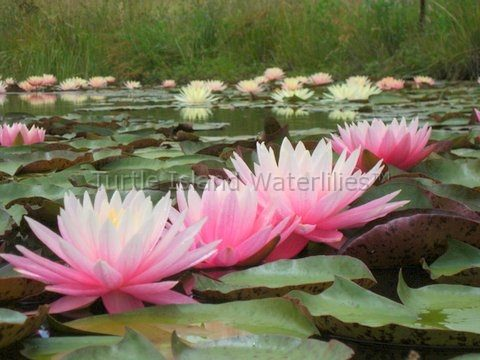Nymphaea 'Myra' Turtle Island Exclusive Hardy Hybrid Waterlily