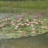 Nymphaea 'Myra' Turtle Island Exclusive Hardy Hybrid Waterlily