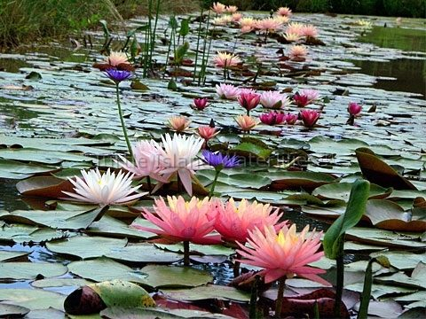 All pond plants archives turtle island waterlilies for Pond plants for sale