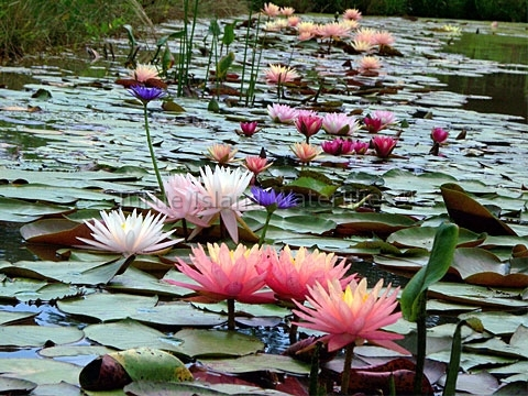 All Hardy Water Lilies for Sale