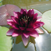 Nymphaea 'Almost Black' Hardy Water Lily
