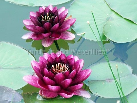Nymphaea 'Almost Black' Hardy Waterlily