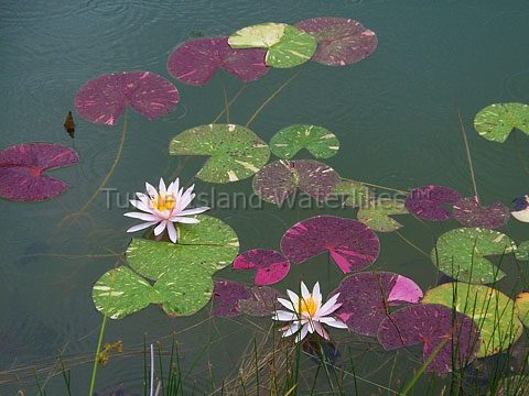 Nymphaea 'Arc-en-ciel' Hardy Waterlily