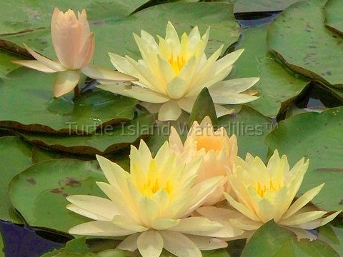 Nymphaea 'Carolina Sunset' Hardy Waterlily