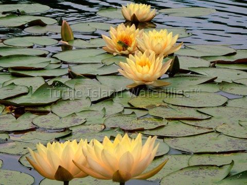 Nymphaea 'Clyde Ikins' Hardy Waterlily