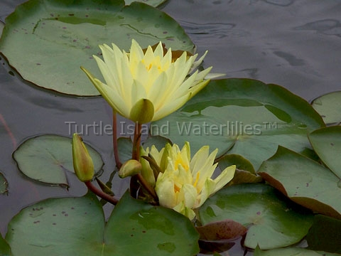 Nymphaea 'Colonel  A.J. Welch' Hardy Waterlily