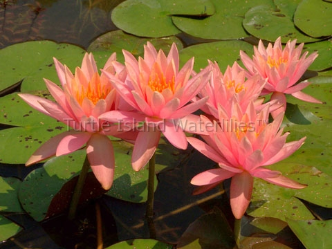 Nymphaea 'Colorado' Hardy Waterlily