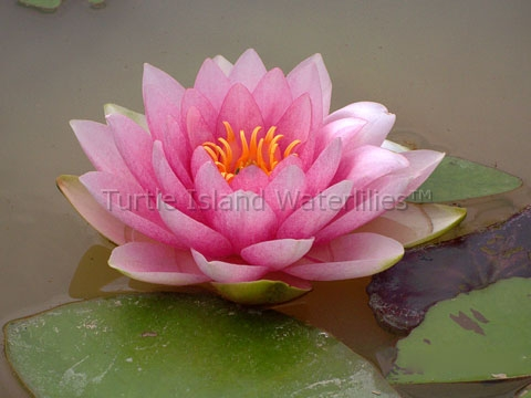 Nymphaea 'Darwin' Hardy Waterlily