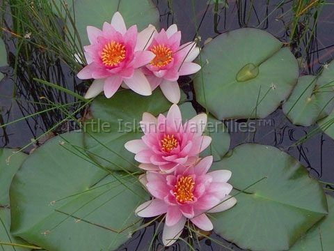 Nymphaea 'Fabiola' Hardy Waterlily