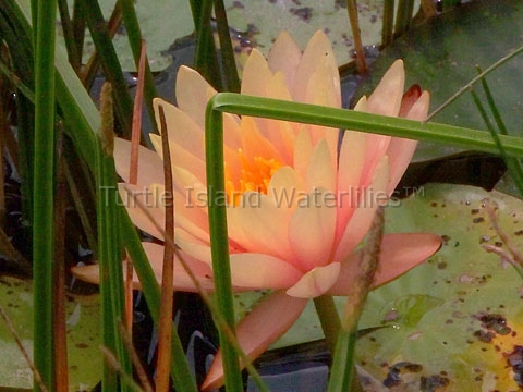 Nymphaea 'Georgia Peach' Hardy Waterlily