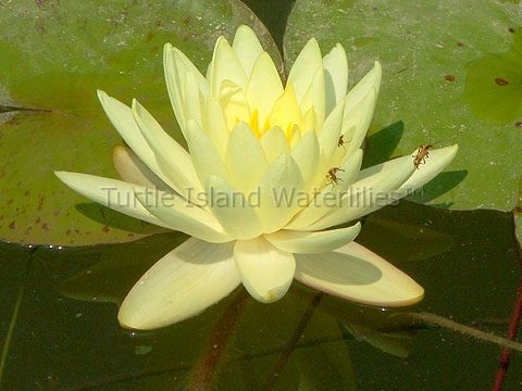 Nymphaea 'Gold Medal' Hardy Waterlily