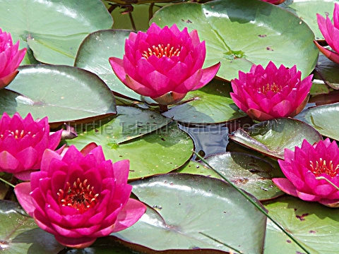 Nymphaea 'James Brydon' Hardy Waterlily