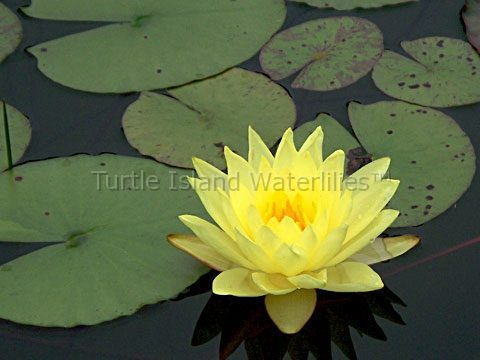 Nymphaea 'Joey Tomocik' Hardy Waterlily