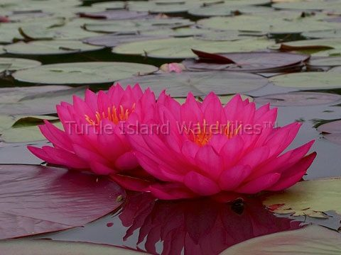 Nymphaea 'Mayla' Hardy Waterlily