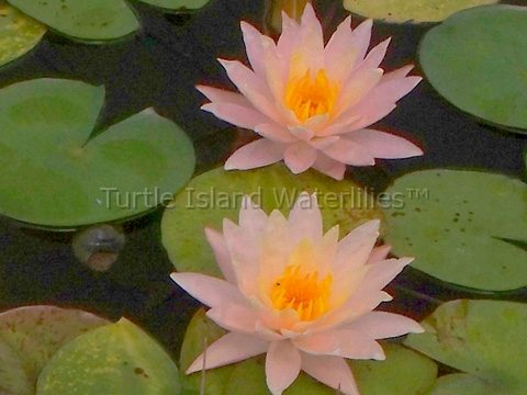 Nymphaea 'Peace' Hardy Waterlily