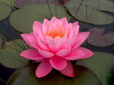 Nymphaea 'Peter Slocum' Hardy Waterlily