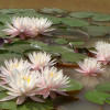 Nymphaea 'Pink Starlet' Hardy Waterlily