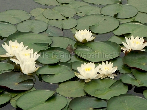 Nymphaea 'Queen of the Whites' Hardy Waterlily