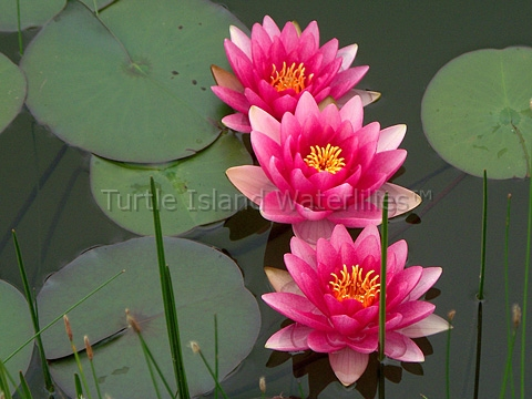Nymphaea 'Splendida' Hardy Waterlily
