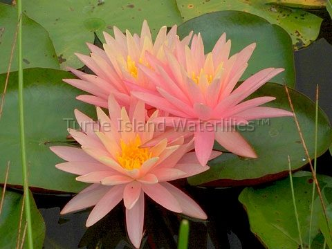 Nymphaea 'Sunny Pink' Hardy Waterlily