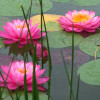 Nymphaea 'Sweet Pea' Exclusive Hardy Waterlily