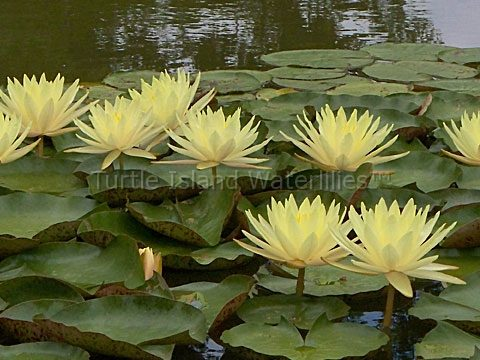 Nymphaea 'Texas Dawn' Hardy Waterlily