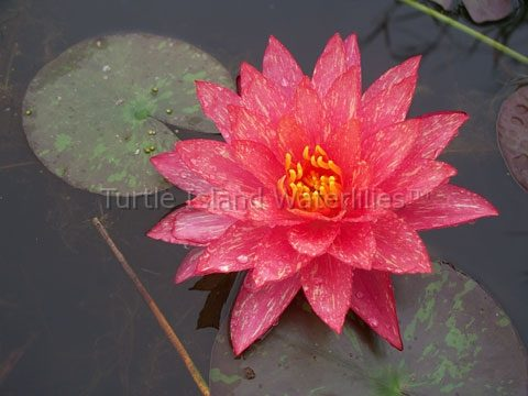 Nymphaea 'Wanvisa' Hardy Waterlily