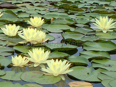 nymphaea yellow princess hardy waterlily   turtle island