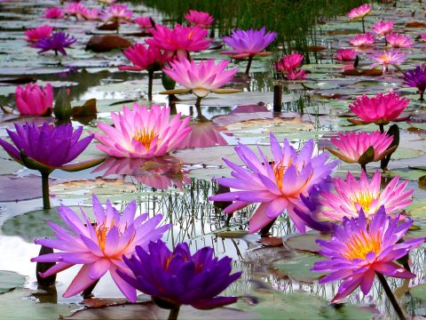 Mike's Exclusive Hardy Water Lilies